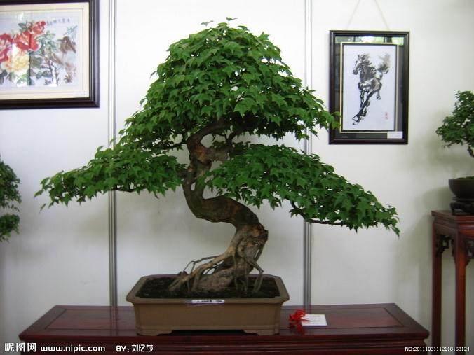 上海植物园开始记录盆景园物候