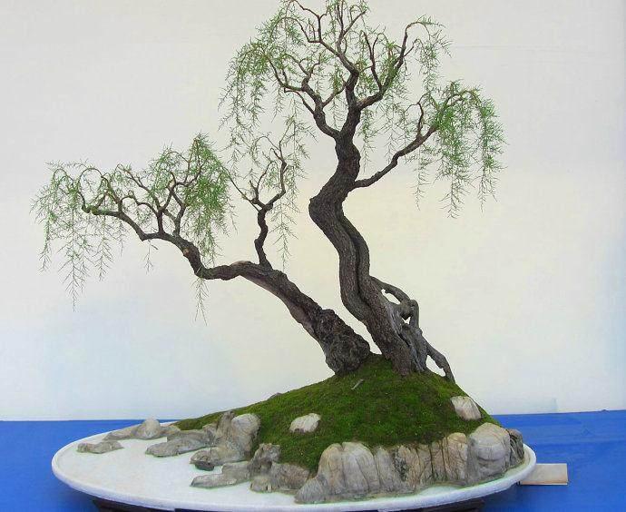 柽柳树干附石盆景的收藏与制作