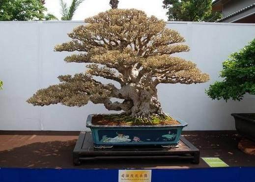 曲干式盆景树干的形态及造型技艺