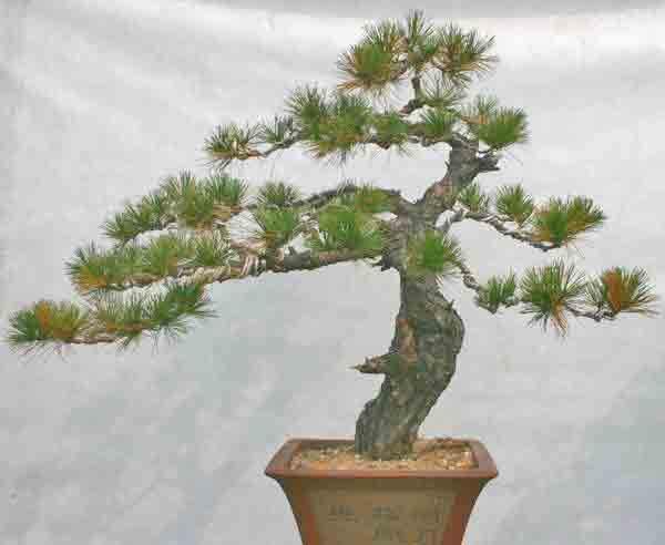 怎么使盆景树干在想要它发芽的地方树干发芽?