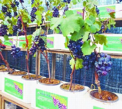 有一种景观叫做盆景葡萄