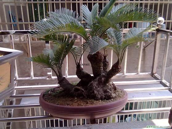 生长了三年的盆景铁树该如何来养护