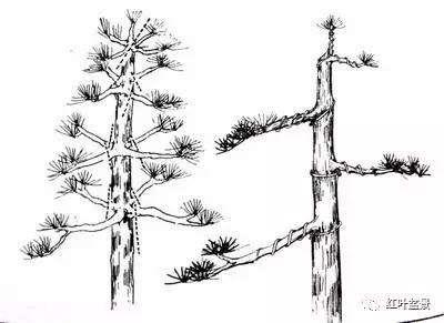 盆景修剪基础:定位剪、缩枝剪、疏枝剪