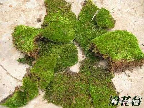 盆景苔藓制作图解