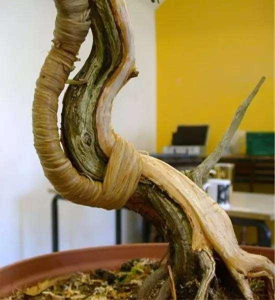 杜松盆景怎么制作舍利骨的方法