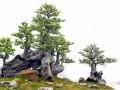 嶺南盆景的越冬過春發芽