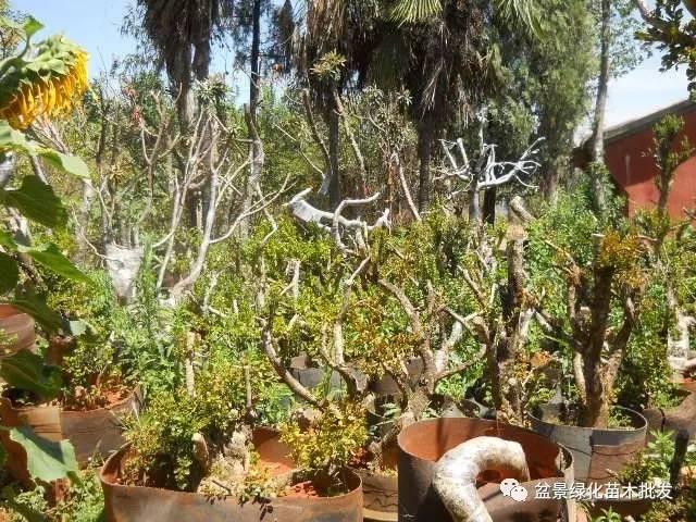 黄杨山松以及各类下山桩种植~仅供参考~纯手打