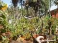 图解 黄杨山松下山桩发芽种植的方法