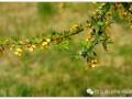 北方金雀下山樁發芽養護的10個方法