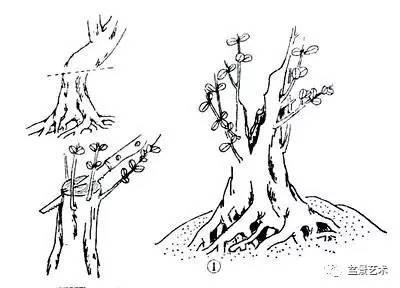 【盆景艺术】树桩盆景造型之蓄干