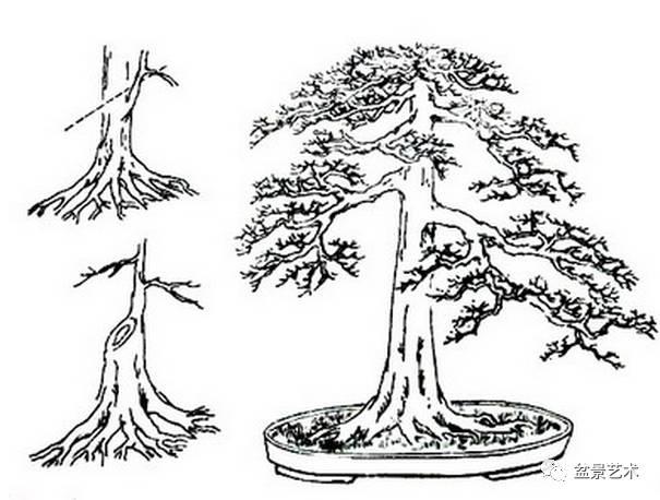 树桩盆景怎么造型之蓄干方法