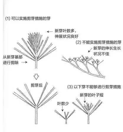 黑松亚博app苹果下载松针发芽短叶修剪方法