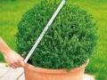 圖解 怎么修剪圓球盆景的方法
