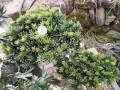 漂亮的米叶罗汉松盆景和米叶罗汉松素材