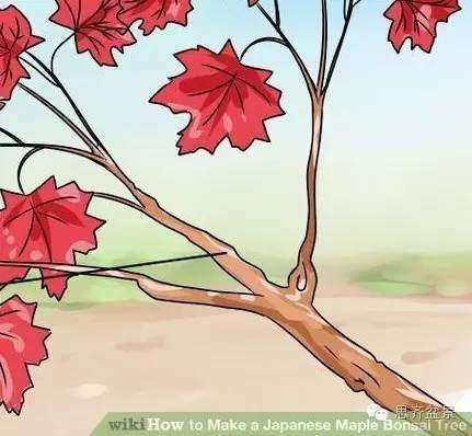 盆景怎么高空压条的简易教程