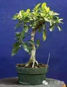 成长日记 | 一颗小榕树盆景的成景记