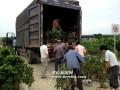 安徽:歙县卖花渔村盆景淡季热销