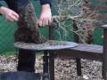 一颗鸡爪槭盆景的换盆过程
