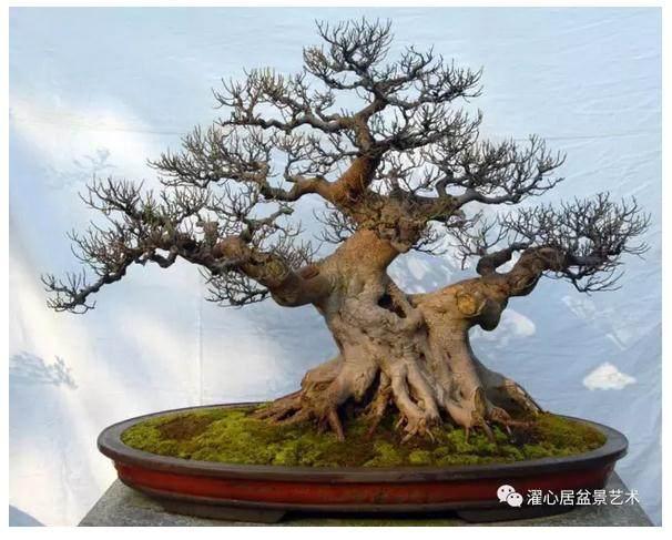 随着日本盆景的引进,其神枝、舍利干的造型