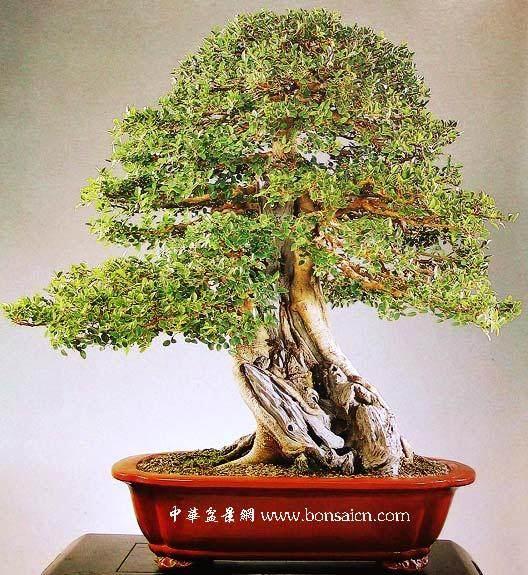 记台湾著名盆景艺术大师---梁悦美