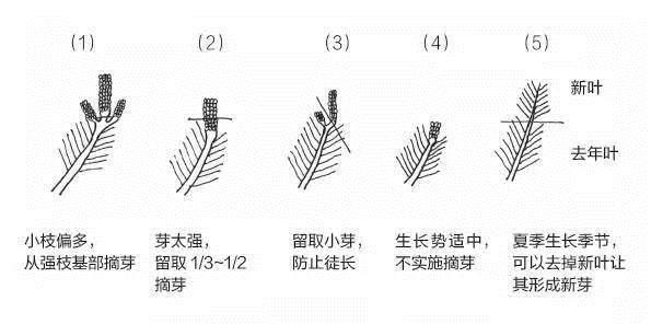 盆景发芽摘芽掐芯法