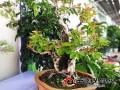 楚雄州花木盆景协会等单位协办的建州60周年