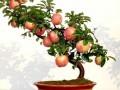 落叶果树盆景休眠期及生长期的修剪方法