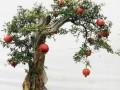 果树盆景的修剪与肥水管理