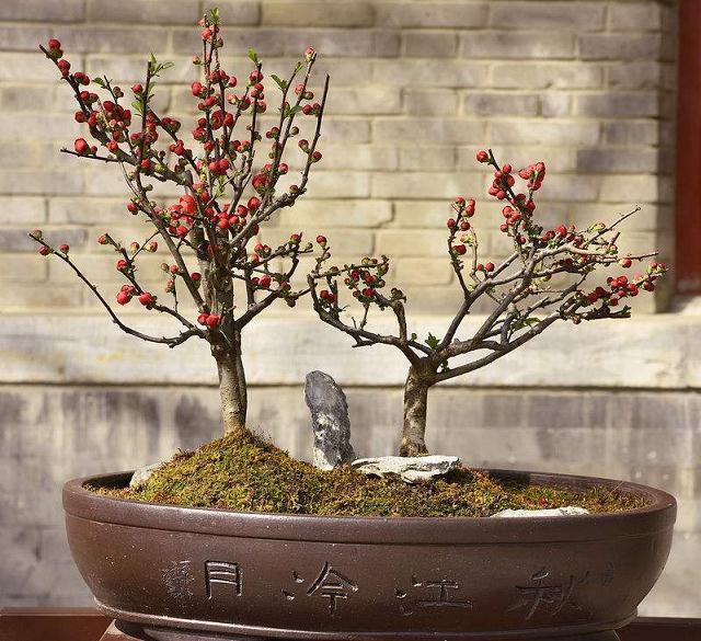 垂丝海棠盆景的造型方法与养护管理