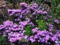 米葉杜鵑盆景的生長習性與整形修剪