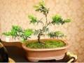红豆杉盆景室内养护方法