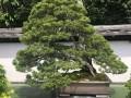 """日本的""""千代之松""""被誉为盆景之王"""