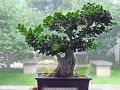 北京植物园盆景园位于北京植物园内 面积1.7公顷