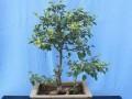 盆栽果树怎样进行整形 修剪?