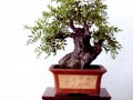 酸枣树也可以当盆景发芽制作的素材