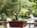 这棵榆树就是我种植盆景的开始