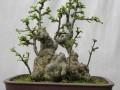 榔榆盆景施肥错误将导致黄叶
