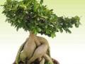 冬季榕树盆景怎么养?要做好榕树的施肥
