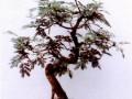 銀合歡盆景萌芽力極強 整個生長期應不斷修剪
