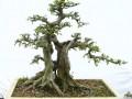 榆树盆景的生物学特性