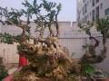 关于如何修剪雀舌黄杨盆景?