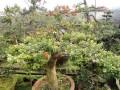 黄杨盆景移栽后怎样施肥的注意事项