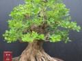 如何制作精品的小叶黄杨老桩盆景