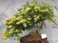 金银花盆景的施肥与修剪