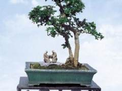 福建茶盆景的养护指南