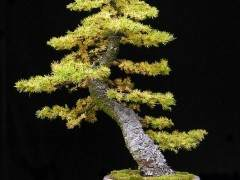落叶松盆景树的养护指南