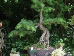 落叶松盆景怎么生根造型的技巧 图片