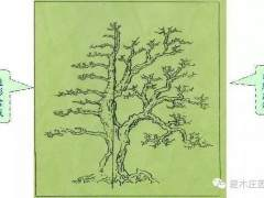朴树盆景的制作 管理与养护