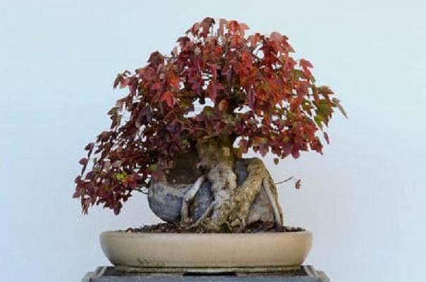三叉戟枫树盆景的翻盘技巧:从盆中取出树
