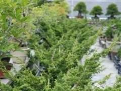 微型柏树盆景素材到成品全程